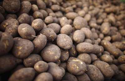 новые ГМО сорта в США