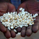несертифицированные семена