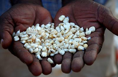 гибридные семена против ГМО