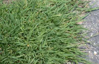 ГМ-трава в США