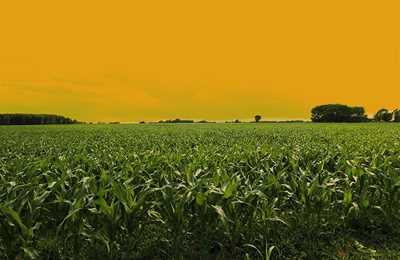 кукурузное поле в Аргентине