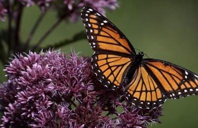 исчезновение бабочки монарх