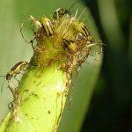 жук поедает кукурузу