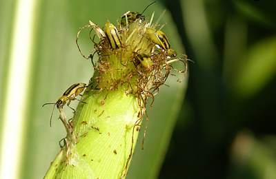 кукурузынй вредитель