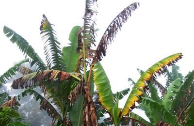 панамская болезнь у бананов