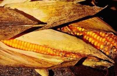 запрет на ГМО-кукурузу в Мексике