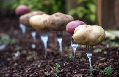 испытание нового ГМ-картофеля