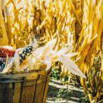 новая ГМ-кукуруза