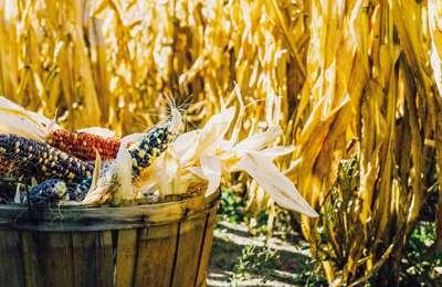собранная кукуруза