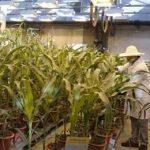 китайская кукуруза