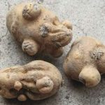 дикамба и картофель