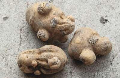 деформированный картофель