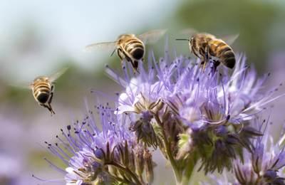 пчелы над цветком
