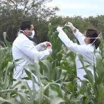 тестирование кукурузы