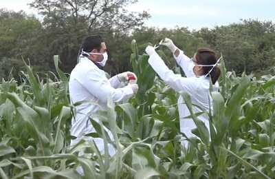 ученые тестируют кукурузу