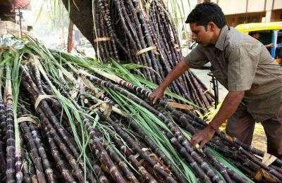 ГМО-тростник