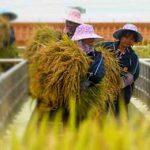 китайцы несут урожай