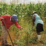 новая кукуруза в Африке