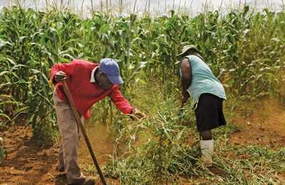 ГМО кукуруза в Африке