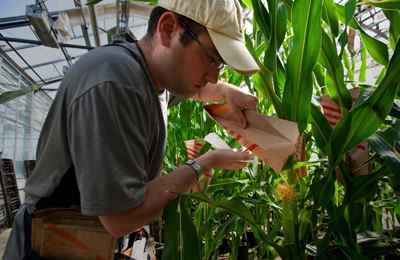 ГМО-кукуруза в Африке