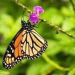 на цветке бабочка монарх