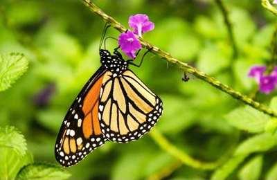 популяция бабочки монарх