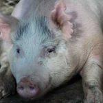 свиные органы для человека