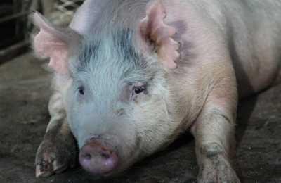 свинья на органы