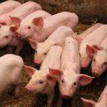 несколько свинок