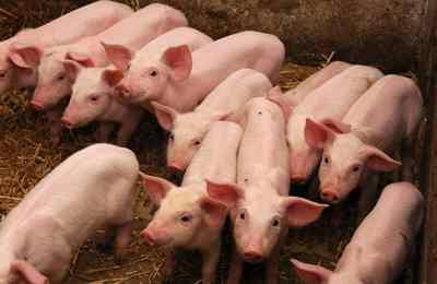 группа свиней