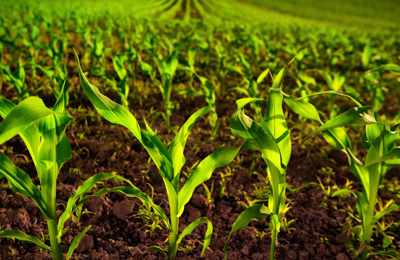 поле с кукурузой