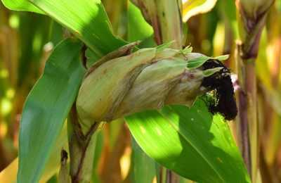 созревающая кукуруза