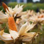 созревание кукурузы
