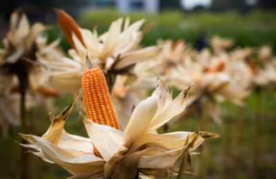 созревшая кукуруза