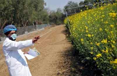 выращивание горчицы в Индии