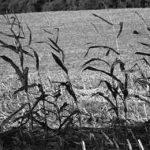 нескошенная кукуруза