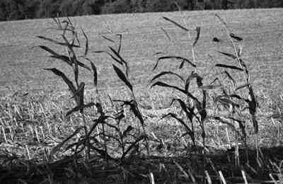 посевы кукурузы