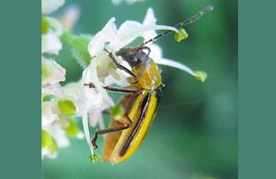 на цветке западный кукурузынй корневой жук