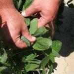 вред растению от гербицидов