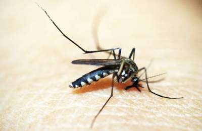 комар на теле