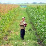 две разные кукурузы