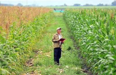 разделение кукурузы