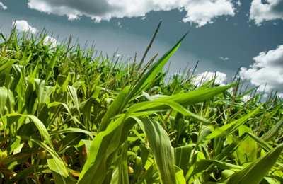 угроза для кукурузы