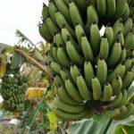 много бананов на дереве