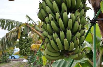 банановая кисть