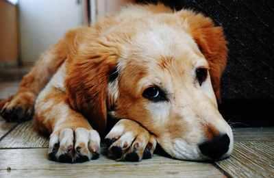 лежит собака