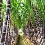посевы сахарного тростника
