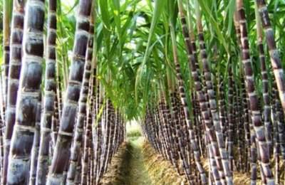 генетически модифицированный сахарный тростник