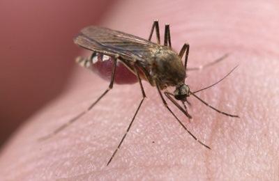 комар и вирус Зика