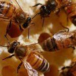 много пчел